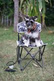 Miniature Schnauzer dog sitting on the chair stock photography