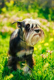 Miniature Schnauzer Dog Sitting In Green Grass Outdoor Royalty Free Stock Photography