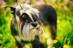 Miniature Schnauzer Dog Sitting In Green Grass Outdoor Stock Photography