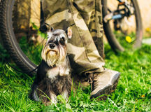 Miniature Schnauzer Dog Sitting In Green Grass Outdoor Stock Photo