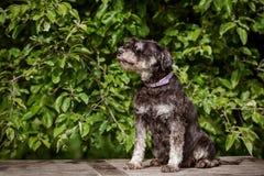 Miniature schnauzer dog sitting outdoors Royalty Free Stock Image