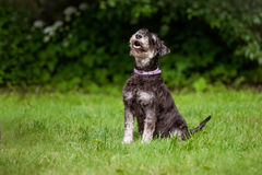 Miniature schnauzer dog sitting outdoors Stock Photo