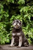 Miniature schnauzer dog sitting outdoors Royalty Free Stock Photo