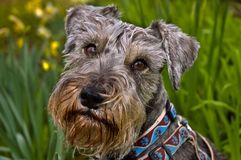 Miniature schnauzer dog in spring setting. Windblown miniature schnauzer dog in front of a green daffodil flowered spring background setting royalty free stock photography
