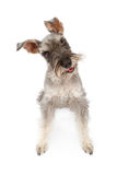 Miniature Schnauzer Dog Tilting Head Royalty Free Stock Images
