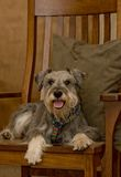 Miniature schnauzer dog on wooden rocking chair. Miniature schnauzer dog laying on a wooden rocking chair indoors. Portrait of a pampered pet Stock Photos