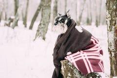 Miniature Schnauzer Dog Or Zwergschnauzer Muffled In Rug Sitting royalty free stock photos