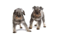 Miniature Schnauzer dogs Royalty Free Stock Photo