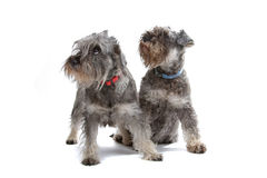 Miniature Schnauzer dogs. Isolated on a white background royalty free stock photo