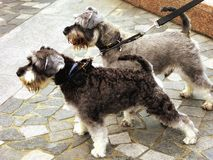 Miniature Schnauzer dogs. Playing on the ground at hongkong street china Royalty Free Stock Images