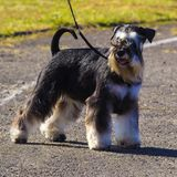 Miniature Schnauzer dogs. Portrait of a young miniature schnauze. R Royalty Free Stock Photography
