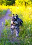 Miniature Schnauzer dogs. Portrait of a young miniature schnauzer royalty free stock photography