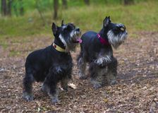 Miniature Schnauzer dogs. Portrait of a young miniature schnauze Stock Photography