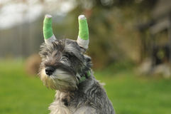Miniature schnauzer after ear surgery Stock Photo