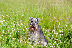 Miniature schnauzer on field Stock Photos