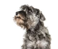 Miniature Schnauzer in front of white background. Isolated on white stock image
