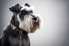 Miniature Schnauzer with full beard and copper collar Stock Photography
