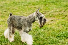 Miniature schnauzer on the green field royalty free stock image