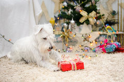 Miniature schnauzer is happy. Miniature white schnauzer is happy for cchristmas gift Royalty Free Stock Photography