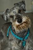 Inquisitive Miniature Schnauzer Dog stock photos