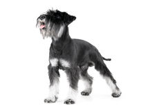 Miniature Schnauzer isolated on white. Miniature Schnauzer, 1 years old, isolated on white background Royalty Free Stock Images