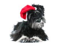 Miniature schnauzer isolated on white. Miniature schnauzer in santa's red hat isolated on white Royalty Free Stock Image