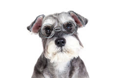 Miniature schnauzer isolated with white background Royalty Free Stock Image