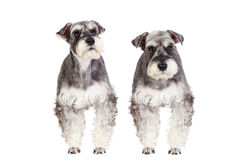 Miniature schnauzer isolated with white background Royalty Free Stock Photos