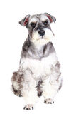 Miniature schnauzer isolated with white background Stock Photography