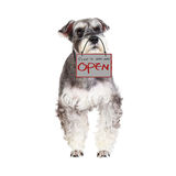 The Miniature schnauzer isolated with white background Stock Photography