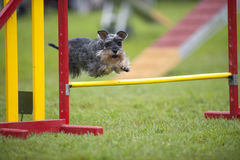 Miniature Schnauzer jumping on agility course stock photography