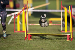 Miniature Schnauzer jumping over yellow obstacle on agility course stock photography