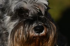 Miniature Schnauzer pepper and salt champion royalty free stock image