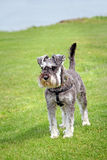 Miniature schnauzer pet dog. Photo of a cute pedigree miniature schnauzer dog in alert position with tail upwards royalty free stock image