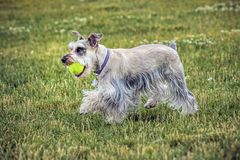 Mini schnauzer with a ball. A miniature schnauzer plays with a ball in a park in north Idaho stock images