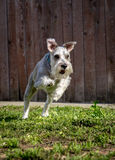 Miniature Schnauzer. A miniature schnauzer plays in a yard Stock Photography