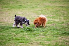 Miniature Schnauzer and Pomeranian Royalty Free Stock Photo