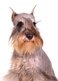 Miniature schnauzer portrait Royalty Free Stock Photo