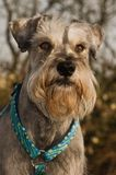 Miniature schnauzer portrait outdoors. Grey salt and pepper miniature schnauzer dog posing outoors in the sun royalty free stock image