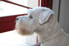 Miniature Schnauzer. Portrait of a white miniature schnauzer in the front window of our home stock images