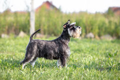 Miniature Schnauzer profile. Miniature Schnauzer dog profile - outdoor Royalty Free Stock Images