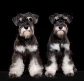Miniature schnauzer puppies stock photos