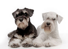 Miniature schnauzer puppies Royalty Free Stock Image