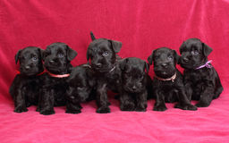 Miniature Schnauzer puppies Stock Image