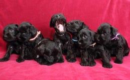 Miniature Schnauzer puppies Royalty Free Stock Image