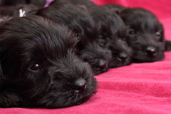 Miniature Schnauzer puppies Royalty Free Stock Images