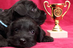 Miniature Schnauzer puppies Stock Image