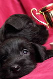 Miniature Schnauzer puppies Stock Photos