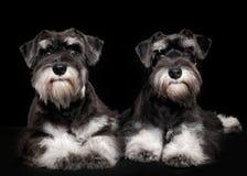 Miniature schnauzer puppies royalty free stock photography