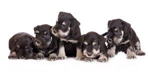 Miniature schnauzer puppies royalty free stock photos